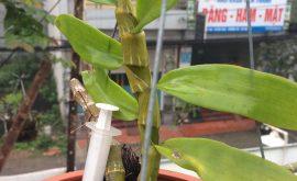 hoa phong lan phi điệp tím
