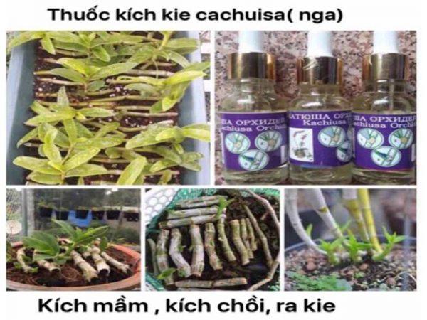 thuốc kích mầm cachuisa