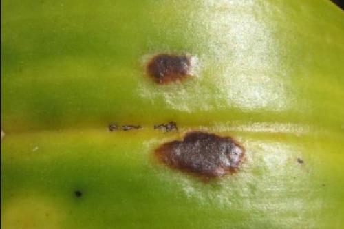 bệnh bọ trĩ thường gặp ở hoa phong lan
