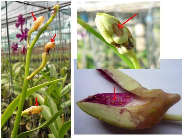 bệnh đốm nâu trên cành hoa thường gặp ở hoa phong lan