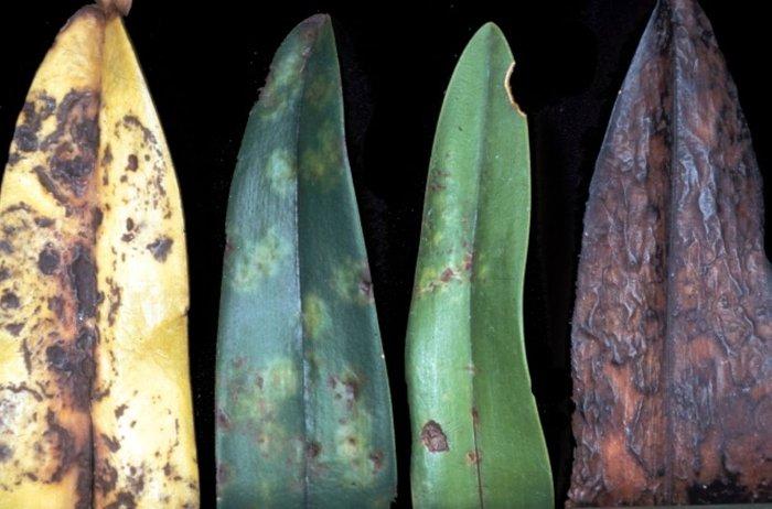 bệnh do viurut thường gặp ở hoa phong lan