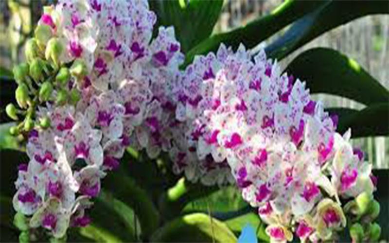 cách làm cho lan đai châu ra hoa