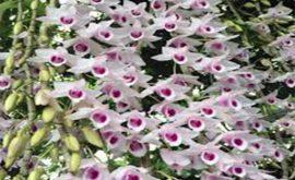 hoa phong lan phi điệp