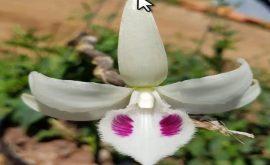 Lan đột biến 5 cánh trắng vô thường