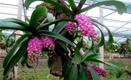 lan ngọc điểm trồng bao lâu thì có hoa