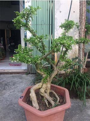 cây mai chiếu thủy