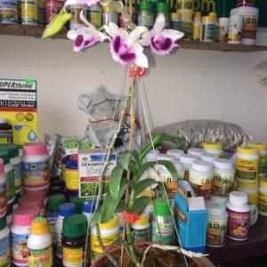 phi điệp tím phú thọ hoa đẹp