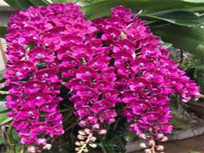 Mới chơi thì nên chọn loại hoa phong lan gì để trồng