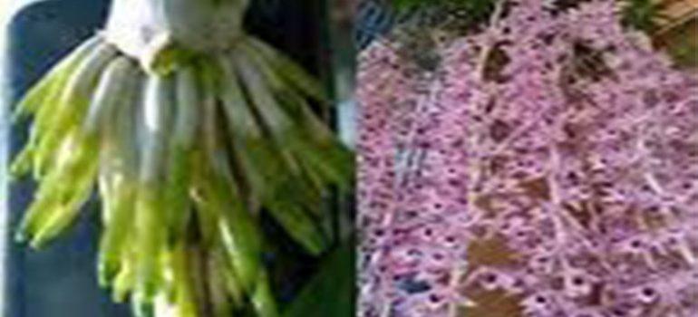 Thời điểm kích rễ hoa phong lan tốt nhất