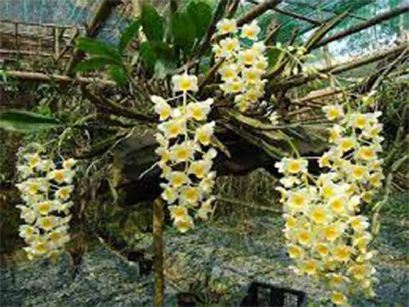 hoa phong lan-cách chăm sóc lan