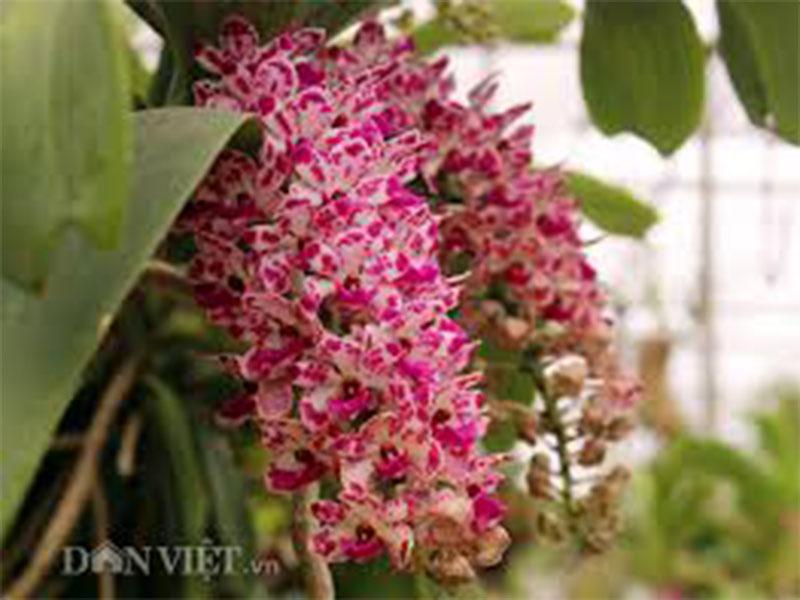 hoa phong lan đai trâu cấy mô đỏ đốm