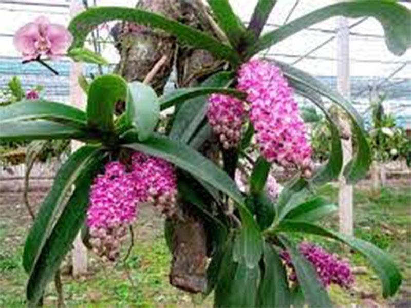 hoa phong lan đai trâu cấy mô đốm đỏ