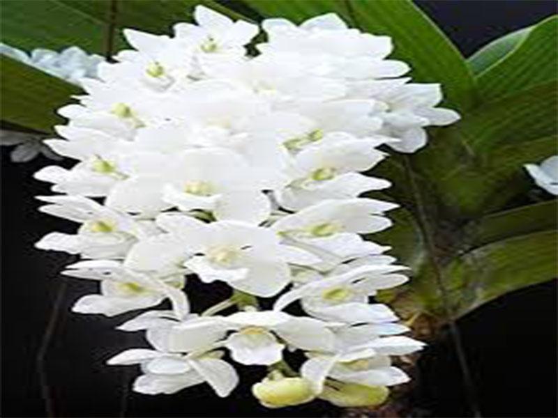 hoa phong lan đai trâu cấy mô trắng