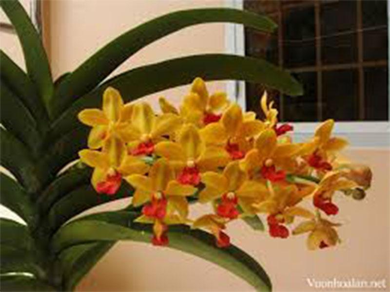 hoa phong lan đai trâu cấy mô vàng