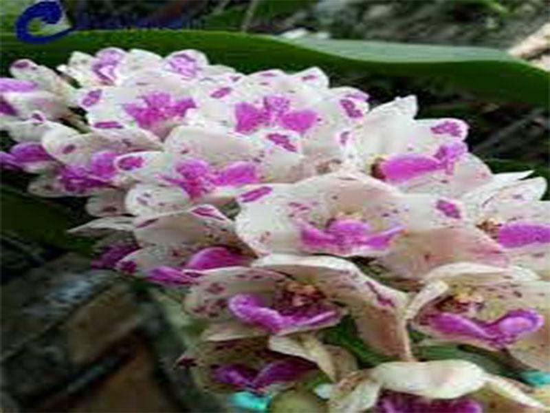 hoa phong lan đai trâu rừng