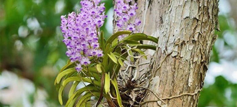 hoa phong lan rừng