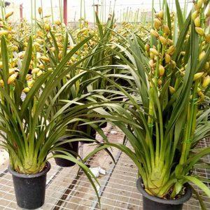 cách trồng địa lan sato
